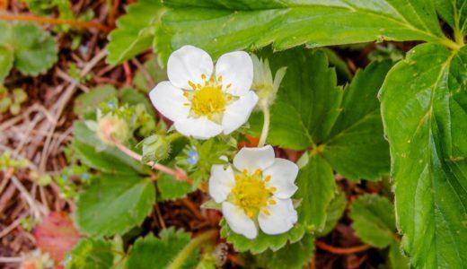 ワイルドストロベリー - 春と秋、畑脇などに自生する野生のイチゴ