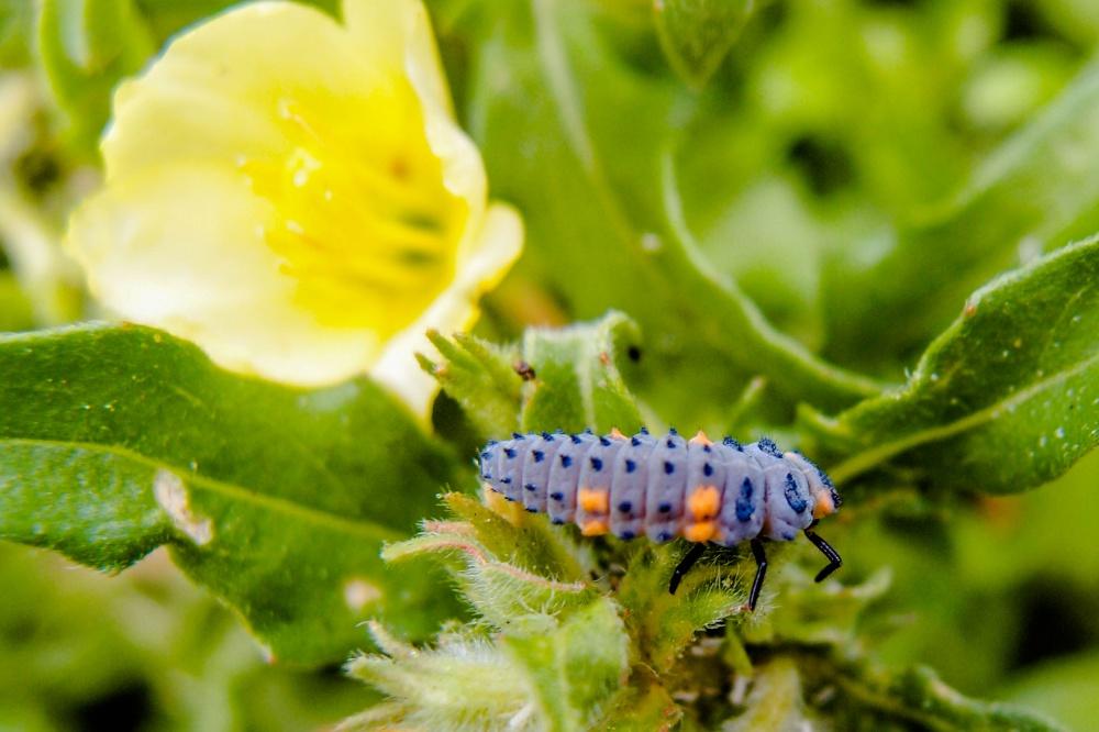 食事中のナナホシテントウの幼虫