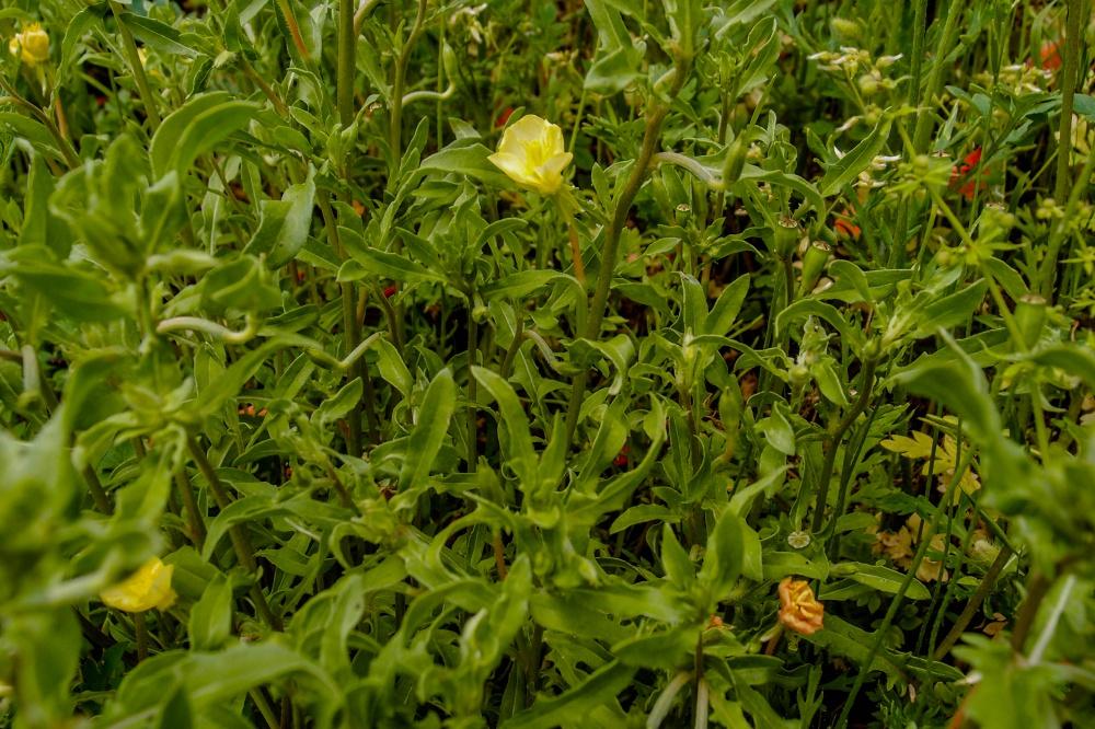 コマツヨイグサの葉