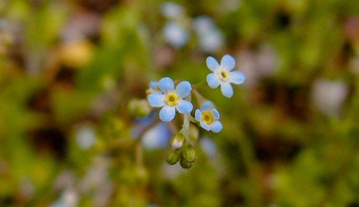 キュウリグサ - 春、足元に咲く花びら5枚で空色のとても小さな花