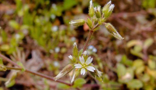 オランダミミナグサ - 春、道端や田畑の脇で小さい白い花を咲かせる