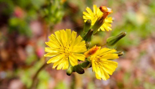 オニタビラコ - 春夏秋と黄色い花を咲かせるタンポポに似た野草