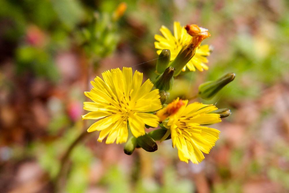 オニタビラコの花
