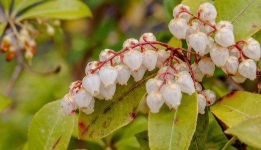 アセビ - 赤い枝にベルみたいな白い花を沢山咲かせる日本原産の花