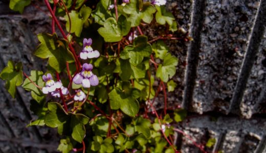 ツタバウンラン - 春夏秋と3シーズン、ツタに薄紫色の花を咲かせる