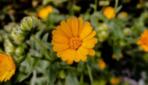 ヒメキンセンカ - 冬から春に咲く鮮やかなオレンジの花