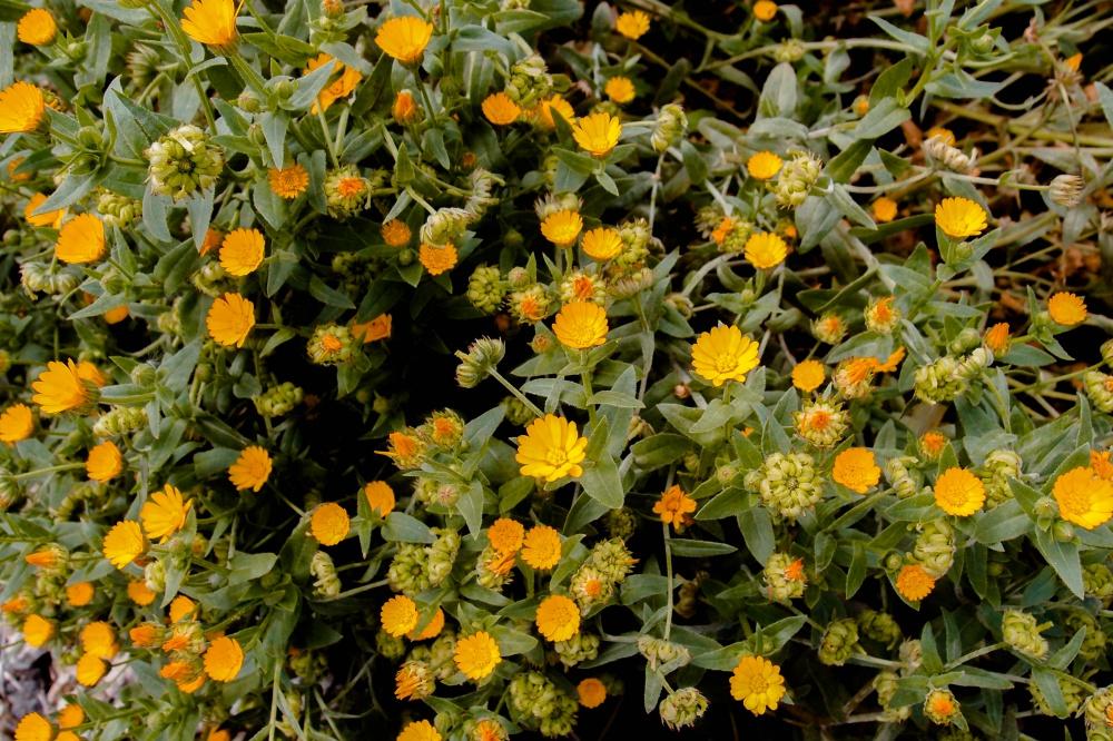 咲き乱れるヒメキンセンカ