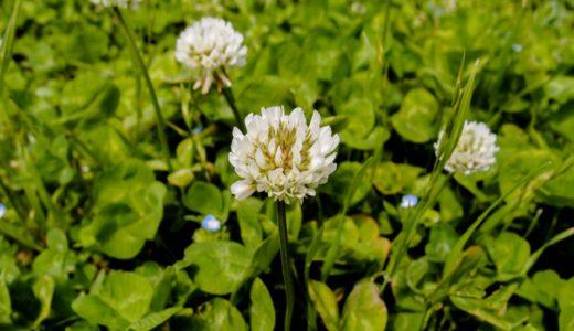 シロツメクサ - 四つ葉のクローバーで有名な春夏秋に咲く白い花