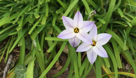 花ニラ - 春に咲く白い花・花びらは六角形で星型の6枚