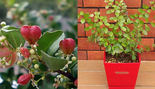 ハリツルマサキ – 夏に白い花を咲かせ、秋にハート型の実をつける