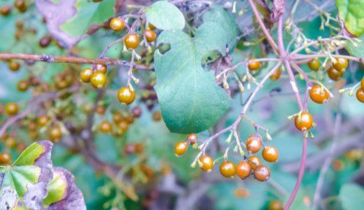ヘクソカズラ – 夏に白い小さな花、秋に黄色い潰すと臭い実をつける