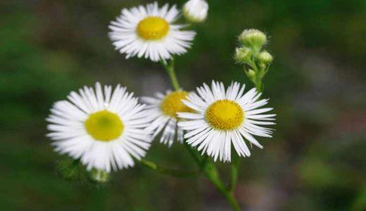 ヒメジョオン - 夏秋に白い花を咲かす野草。ハルジオンと間違われる