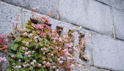 ヒメツルソバ - 春と秋の年2回 コンペイトウのような花を咲かせる