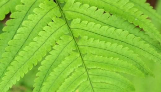 ホシダ - 山林や林道、民家の脇などで一番よくみかけるシダ植物
