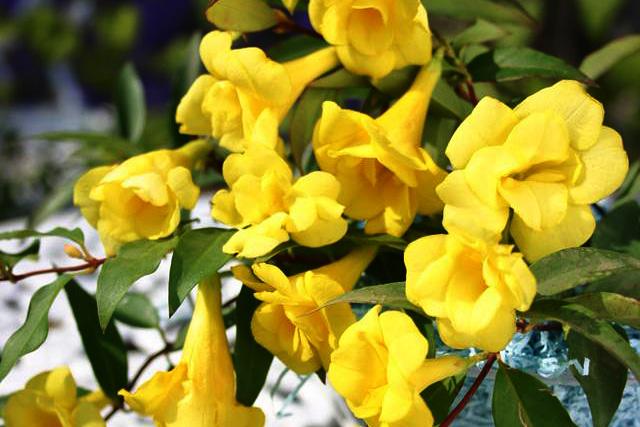 カロライナジャスミン(八重咲き)