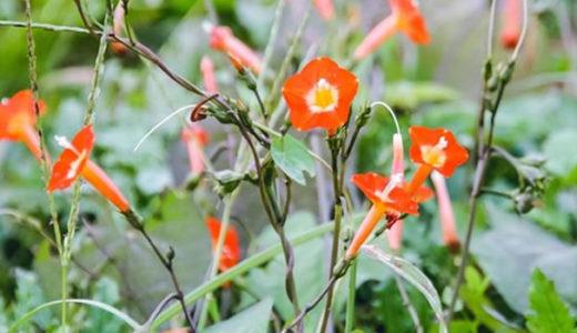 マルバルコウ - 秋に朝顔に似た朱色の花を咲かせ夕日に透ける野草