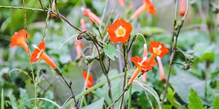 マルバルコウの花