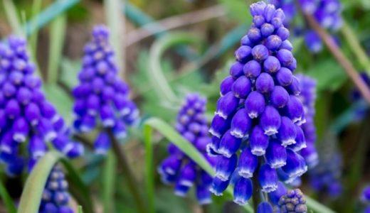 ムスカリ - 春に紫色のベルみたいな花を沢山咲かせる鮮やかな球根花