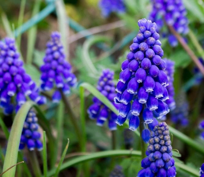 ムスカリの花 - 紫の花