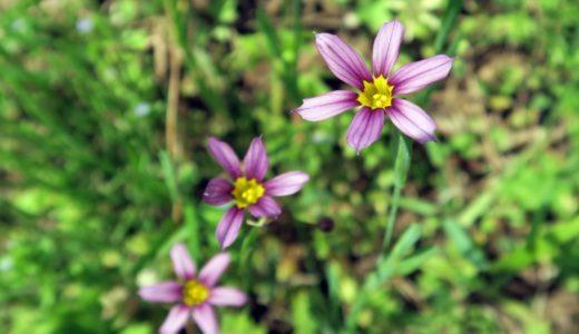 ニワゼキショウ - 春から初夏、公園や空地に紫や白の花咲く萼の黄色い野草