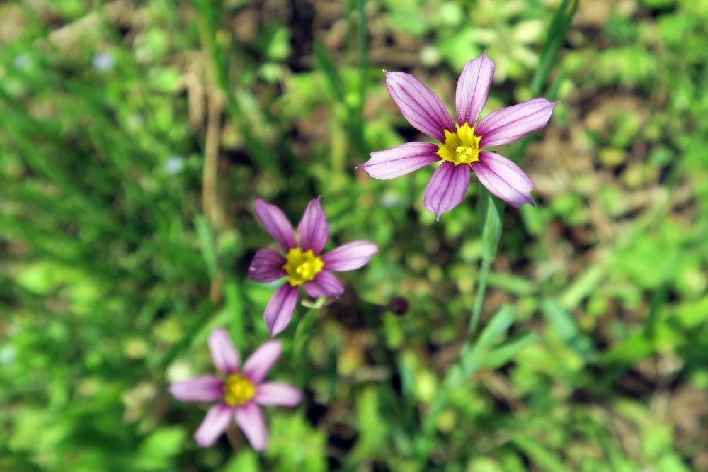 ニワザキショウの花