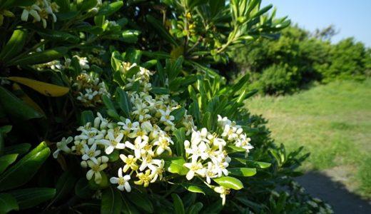 トベラ(扉)- 春に海岸で良い香りをさせる白い花を沢山咲かせる