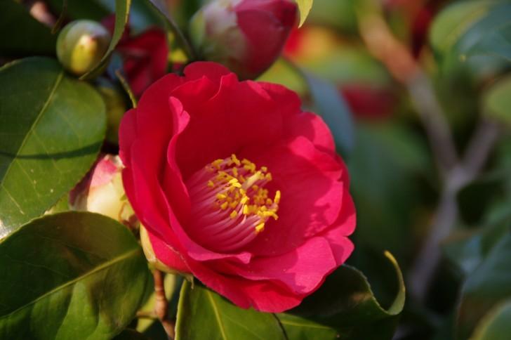 椿の花(八重咲き)