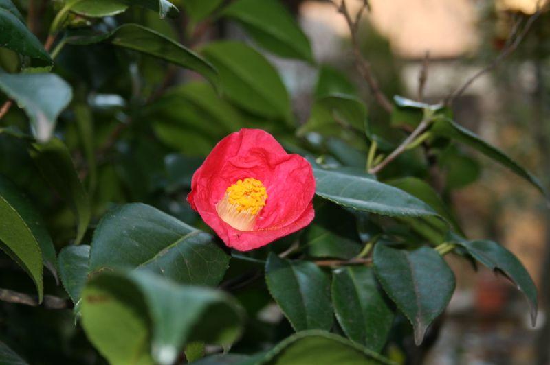 椿の花(一重咲き)