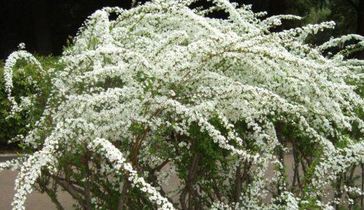 ユギヤナギ - 春に枝葉に沢山の小さい白い花を咲かせ風になびく美しい花