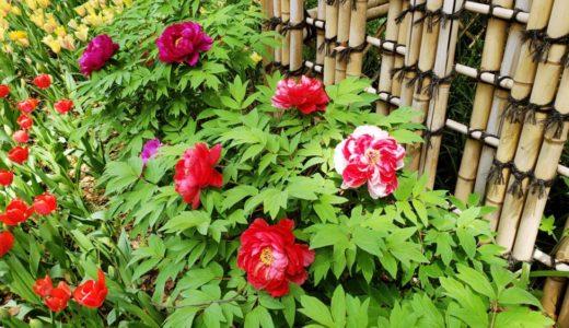 ボタン – 『牡丹』大きく美しい白・赤・ピンク・黄色の春の花で切れ込みの葉っぱ