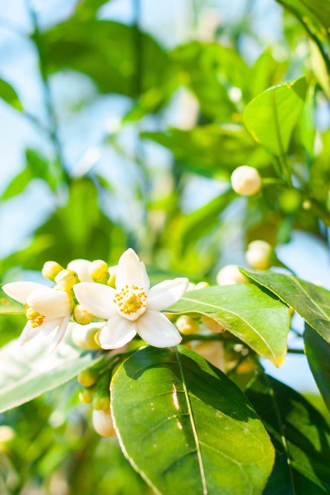 カワナツノダイダイ(甘夏・夏みかん)- 初夏に咲くとても良い香りの白い花02