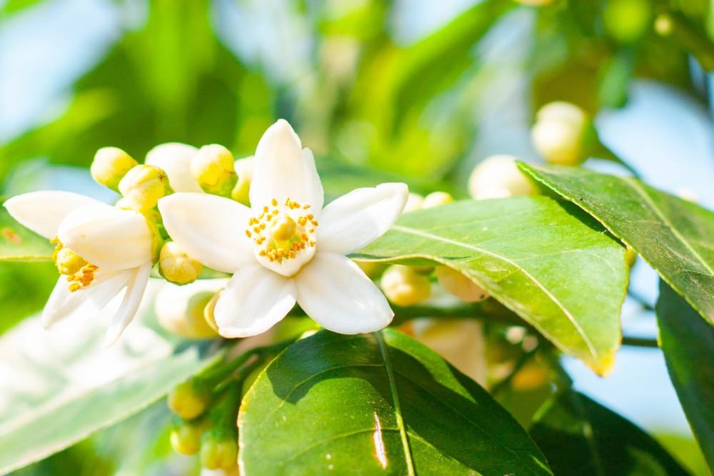 カワナツノダイダイ(甘夏・夏みかん)- 初夏に咲くとても良い香りの白い花