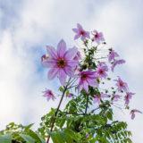 コウテイダリア - 秋から初冬に木に咲く薄紫色の美しい大輪の花