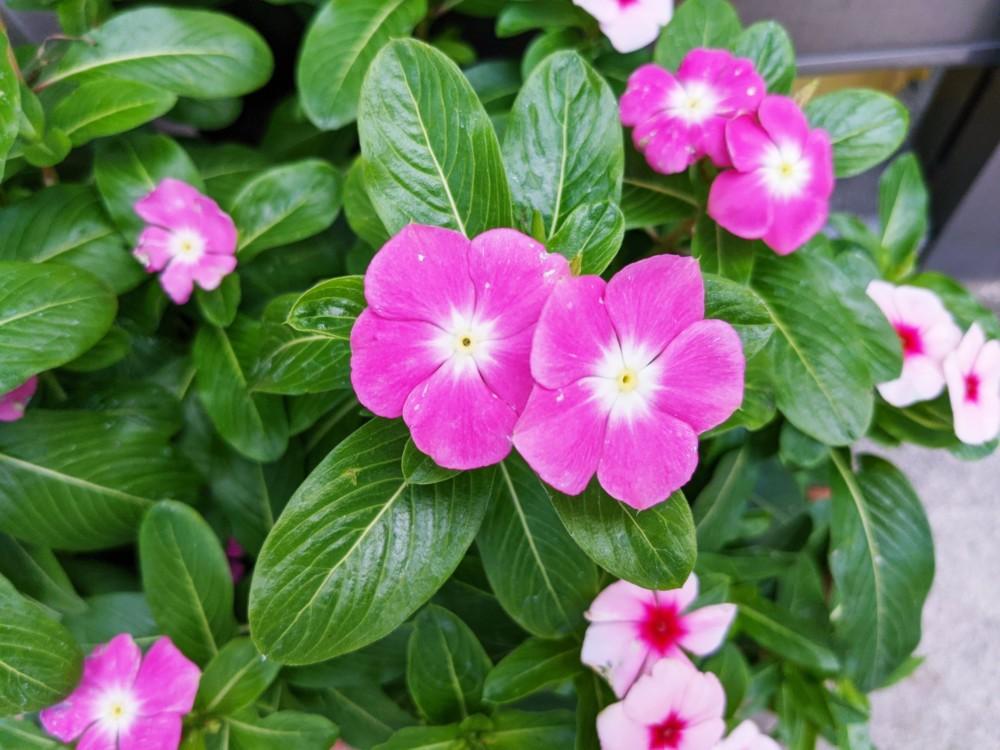 ニチニチソウ - 春から秋と長く楽しめる白・ピンク・紅色の花を咲かせる園芸花