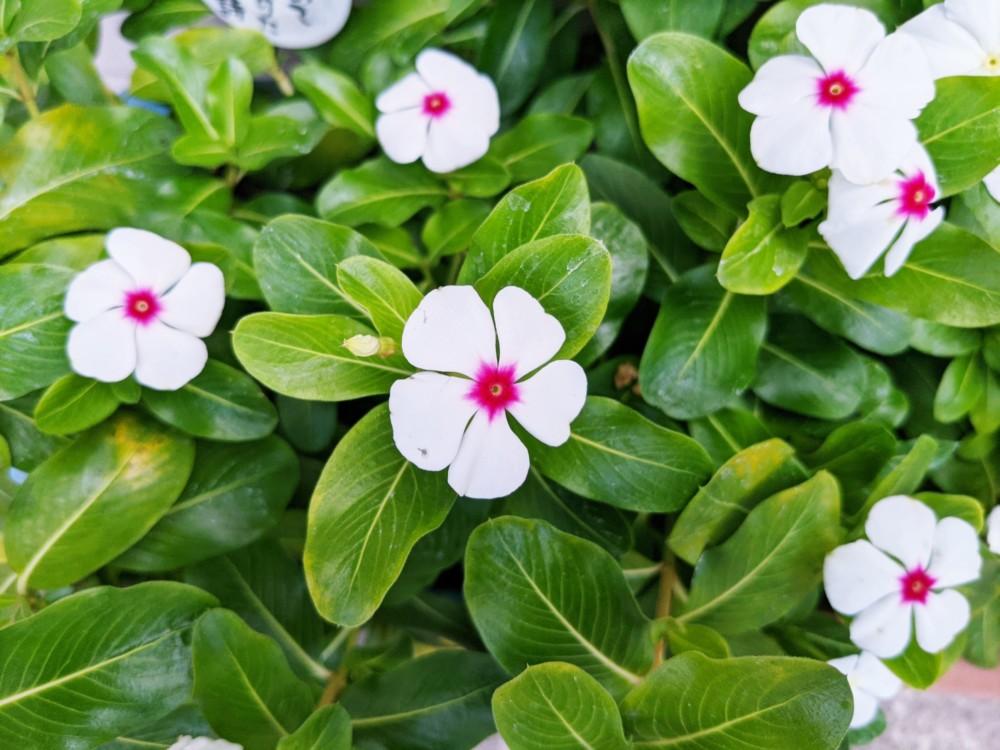 白花のニチニチソウ