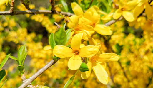 チョウセンレンギョウ - 低木に沢山の黄色い花を咲かせる春を告げる花