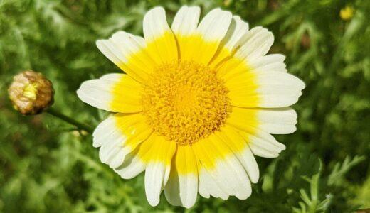 シュンギク - 黄色またはツートンカラーの春秋の花で鍋物や天ぷらにすると美味しい!