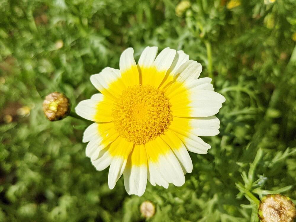 ツートンカラーの春菊