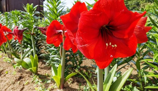 アマリリス - ユリの花に似ている?真っ赤な大輪を咲かせる晩春から初夏の花